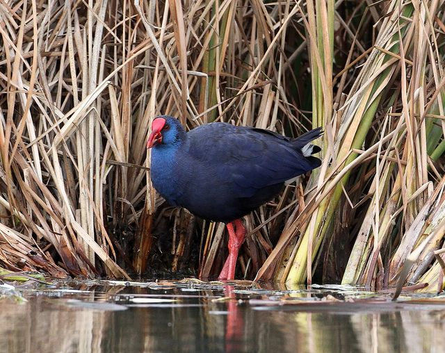 Purple Gallinule in the reed beds.