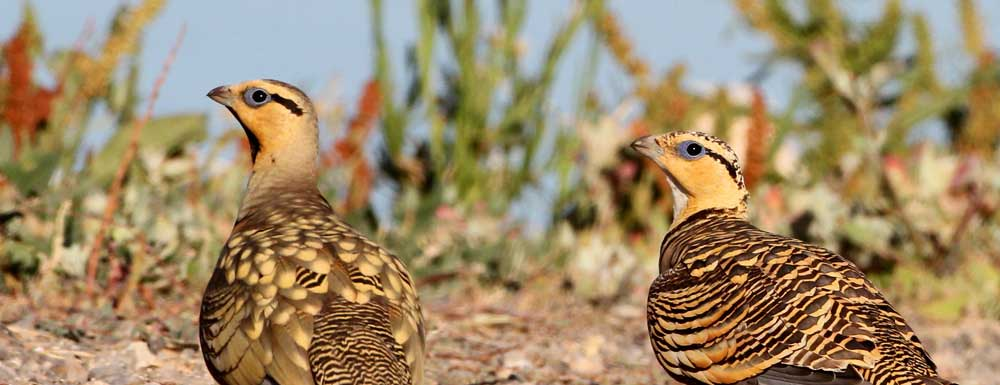 Bird Tours of the Steppes of La Mancha from €100 for two people
